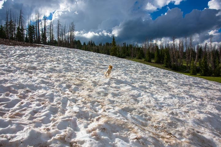 Puppy plays in Utah mid-summer snow-min