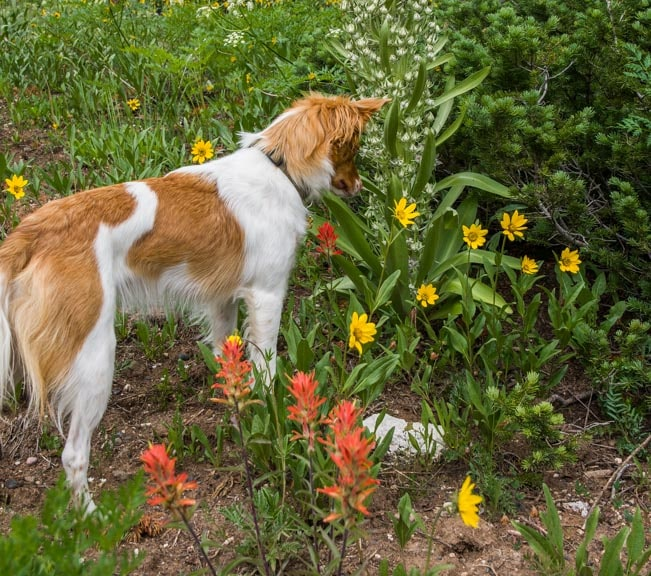 Puppy checks the wildflowers-min
