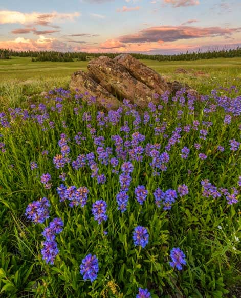 Wildflowers in Dixie National Forest Utah-min