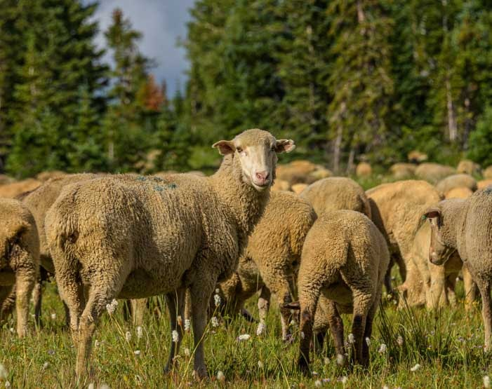 Sheep looks back-min