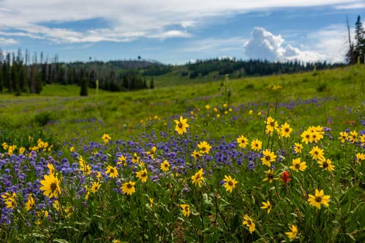 Yellow and purple wildflowers near Cedar Breaks National Monument Utah-min