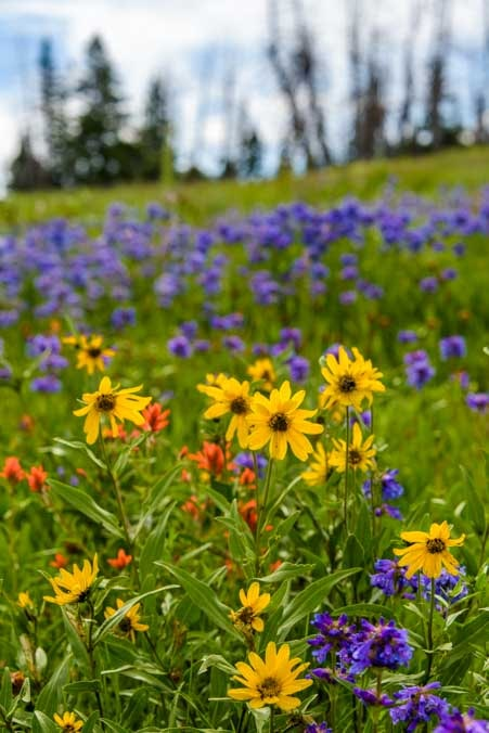 Hill coveed with wildflowers in Dixie National Forest Utah-min