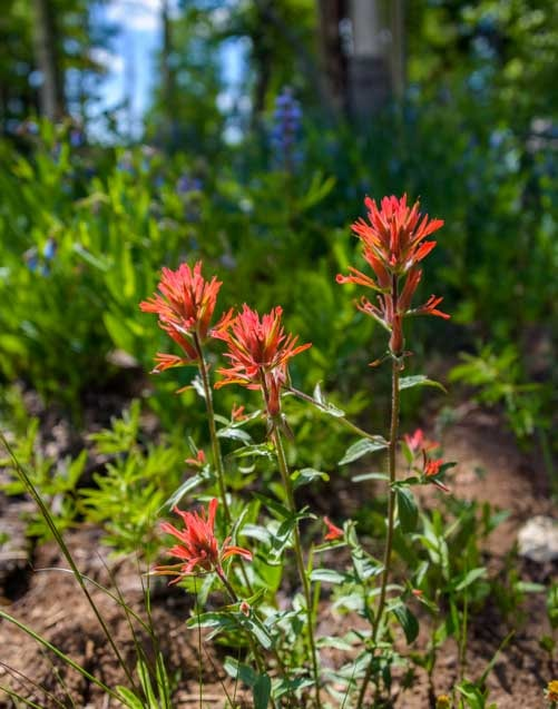 Indian Paintbrush-min
