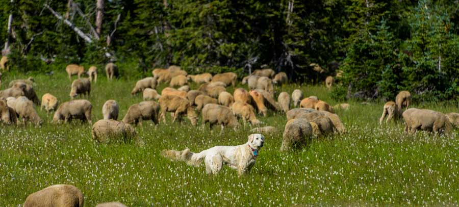 Great pyrenees sheepdog with a flock of sheep-min