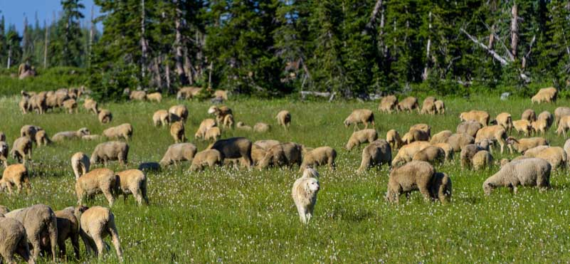Great Pyrenees sheepdog oversees his flock of sheep-min