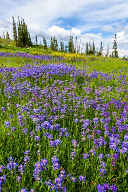 Purple wildflowers in Dixie National Forest Utah-min