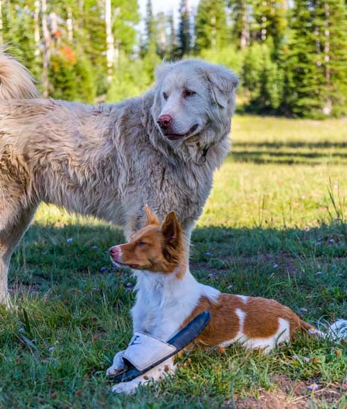 Dog friends Great Pyrenees and border collie mix-min