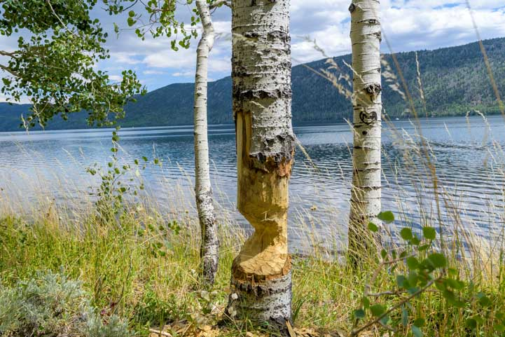 Beaver chewed aspen tree at Fish Lake Utah-min