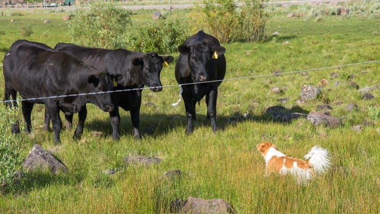 Puppy with cows-min