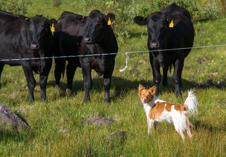 Smiling puppy with cows-min