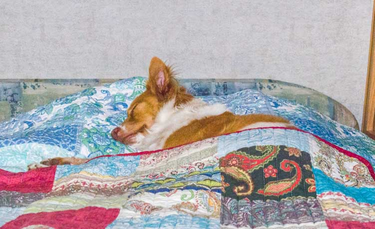 Puppy sleeps happily in truck camper RV bed