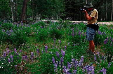 Lupines blooming in the Kaibab National Forest North Rim Grand Canyon, AZ make great photos
