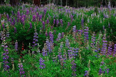Lupines blooming in the Kaibab National Forest North Rim Grand Canyon, AZ