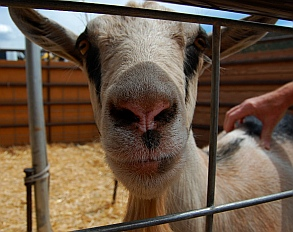Petting Zoo at Iron Country Fair, Parowan, Utah