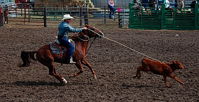 Tie down roping at the rodeo