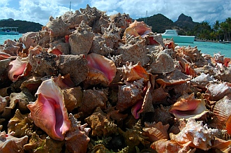 Conch shells piled high Union Island SVG