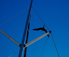 Two frigatebirds took turns trying to land on our swaying mast.