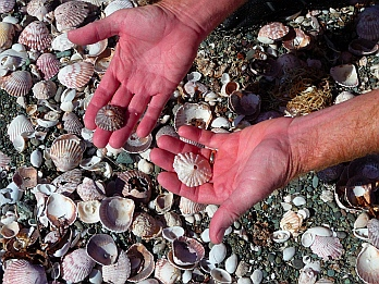 All kinds of sea shells at Punta Belcher, Bahia Magdalena, Baja California