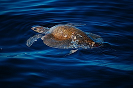 A sea turtle along the Pacific Mexican Costa Alegre coast.