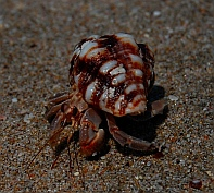 Hermit crabs Isla Colorado anchorage, Chamela Bay