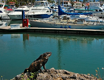 Iguana at Marina Vallarta