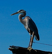 Heron fishing in Loreto, Baja California Sur, Sea of Cortez, Mexico