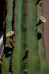 Cardon cactus, Puerto Escondido near Loreto, Baja California Sur, Sea of Cortez, Mexico