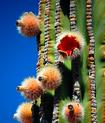 Flowering cactus, Playa el Burro, Bahia Coyote in Bahia Concepcion, Sea of Cortez, Mexico