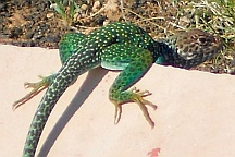 Lizard spotted at Wupatki National Monument, Flagstaff, AZ
