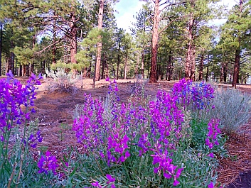NFS Campground, Coconino National Forest, Bonito Campground, Flagstaff, AZ