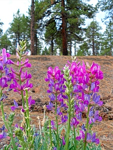 Wildflowers at Bonito Campground, Flagstaff, AZ