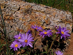 Wildflowers, Dixie National Forest, Utah
