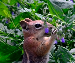 Chipmunk eating bluebells at Cedar Breaks National Monument, Utah
