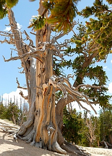 1,600 year old bristlecone pine tree, Cedar Breaks National Monument, Utah