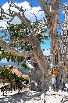 gnarled old bristlecone pine tree, Cedar Breaks National Monument, Utah