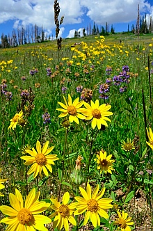 Wildflowers, Cedar Breaks National Monument, Utah