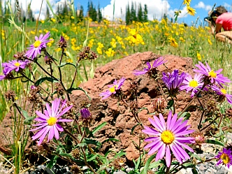Wild lavender daisies at Cedar Breaks National Monument, Utah