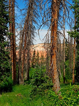 Redrock views through dead trees at Cedar Breaks National Monument, Utah