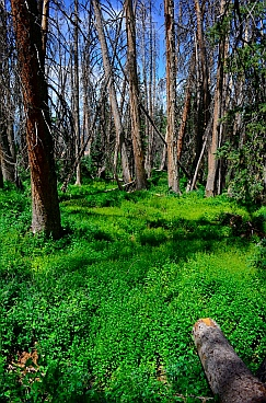 Alpine Pond Loop Trail goes through thick lush green vegetation in Cedar Breaks National Monument, Utah