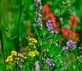 Colorful wildflowers, Cedar Breaks National Monument, Utah