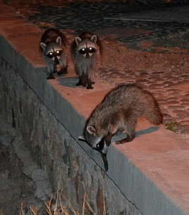 Raccoons raided the pantry on a neighbor's boat.