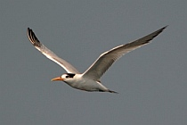 Tern flies over Santiago Bay