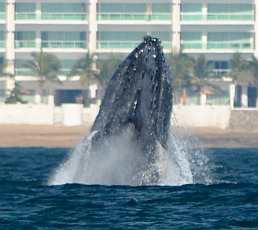 Humpback whale breaches in Santiago Bay Mexico