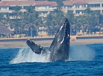 Breaching humpback whale in Santiago Bay Mexico