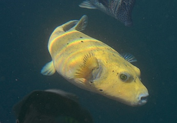 Puffer and angel fish at the Acapulco marina docks.