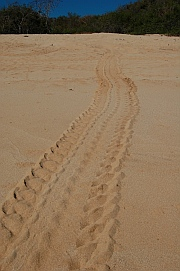 Sea turtle tracks on the beach of Playa Chachacual in the Bays of Huatulco, Mexico