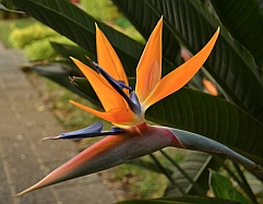 Bird of Paradise flower, Etno-Bontanical Garden