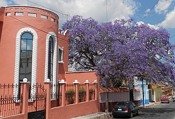 Flowering trees in spring, Comitán, Chiapas, Mexico