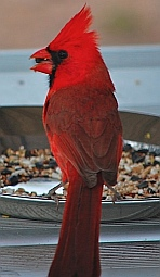 A cardinal enjoys a seed snack on our picnic table at Roosevelt Lake, Arizona.