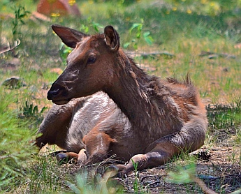 An elk calf rests in the grass at Woods Canyon Lake Recreation Area, Mogollon Rim, Arizona.